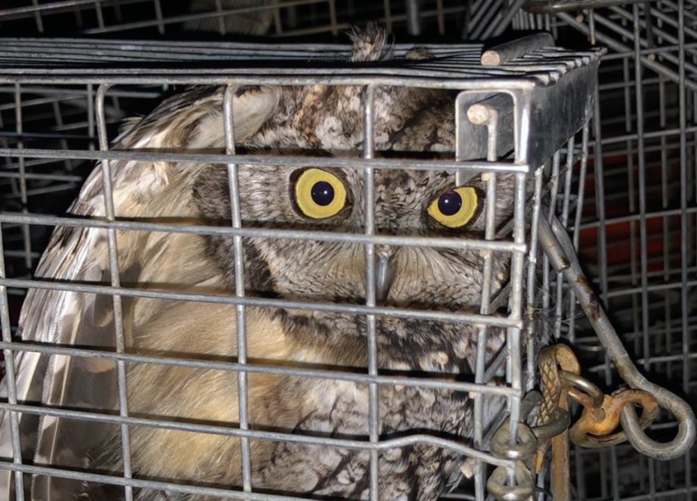 A western screech owl with eyes wide open and feathers ruffled from being caught in a cage.