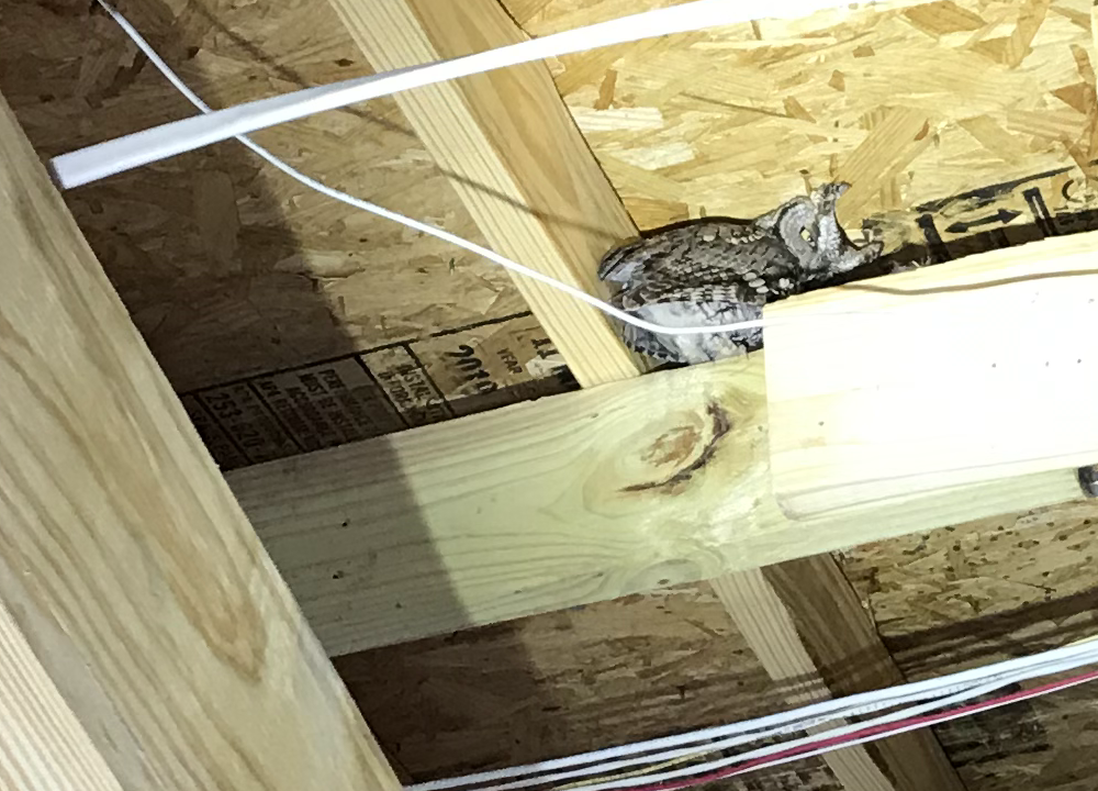 Light shined on a western screech owl hiding up on a beam in the roof.