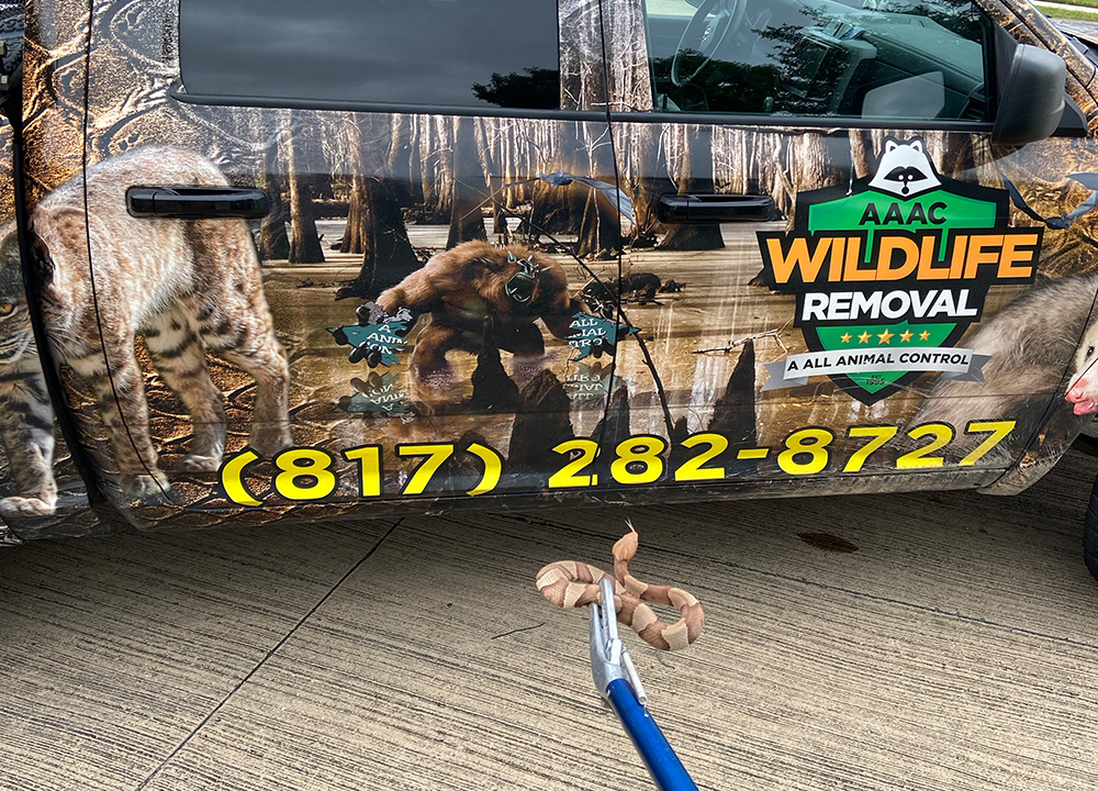 Copperhead in clamp in front of wildlife removal truck